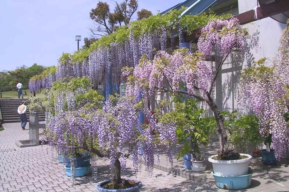 写真  満開のふじの咲く丘_f0214527_11205780.jpg