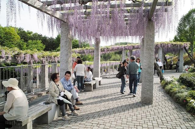 写真  満開のふじの咲く丘_f0214527_11214443.jpg