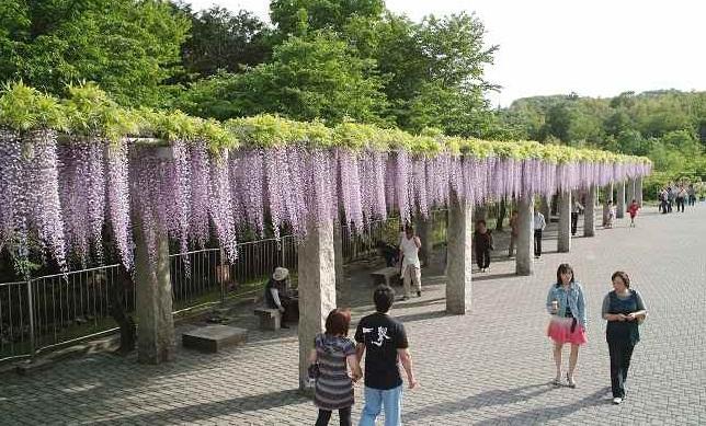 写真  満開のふじの咲く丘_f0214527_11223091.jpg