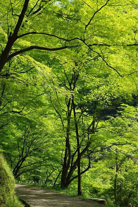 風薫る新緑の香嵐渓_e0171336_152654.jpg