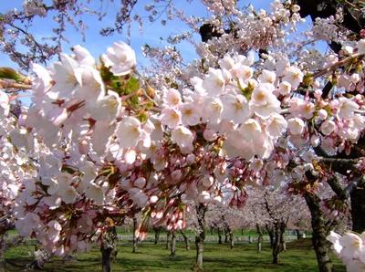 五稜郭の桜(ソメイヨシノ)