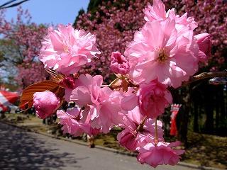 2010年 倶利迦羅さん八重桜まつり_c0208355_17111495.jpg