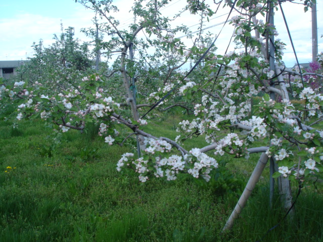 ほぼ満開 りんごの花_e0019167_1913278.jpg