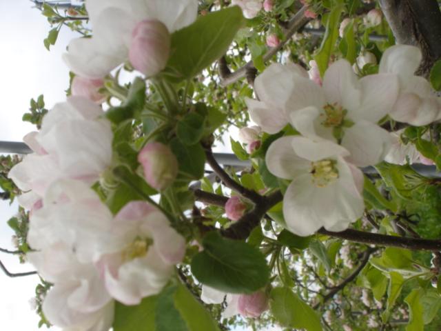 ほぼ満開 りんごの花_e0019167_19174445.jpg