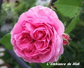 盛りの薔薇 Vol.Ⅰ_c0228386_21395865.jpg