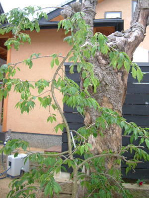 仏生山の家 植樹_e0064493_1139226.jpg