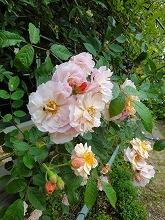 バラ開花_f0207652_1371968.jpg