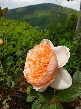 バラ開花_f0207652_1374612.jpg