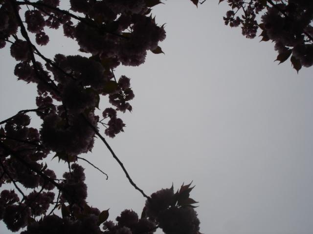 八重桜がすごいことに_e0019167_19122466.jpg