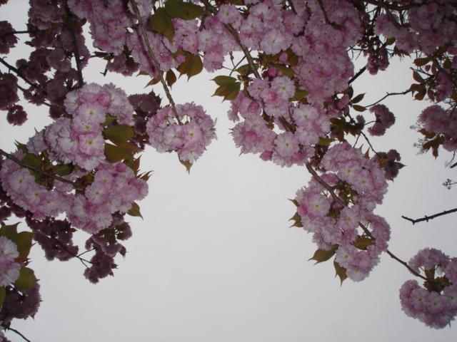 八重桜がすごいことに_e0019167_1917677.jpg