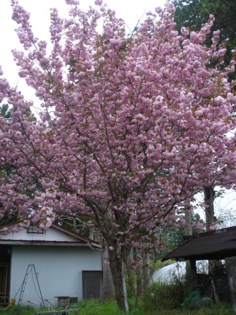 八重桜がすごいことに_e0019167_1945792.jpg