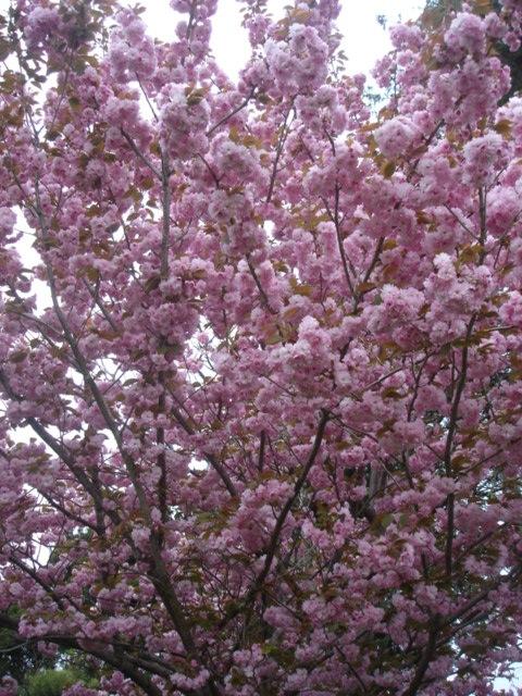 八重桜がすごいことに_e0019167_1955282.jpg
