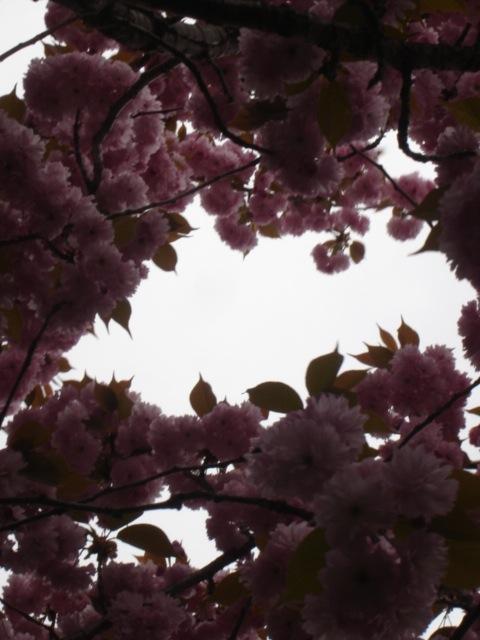 八重桜がすごいことに_e0019167_19717.jpg