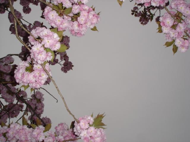 八重桜がすごいことに_e0019167_1974749.jpg