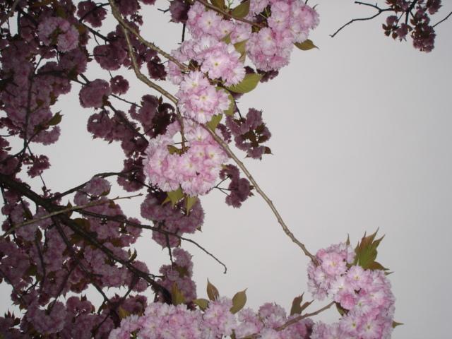 八重桜がすごいことに_e0019167_1984456.jpg