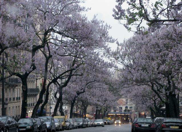 雨の日も又〜♪桐の花が見事〜♪♪(パリ17区ーフランス)_f0119071_6563798.jpg
