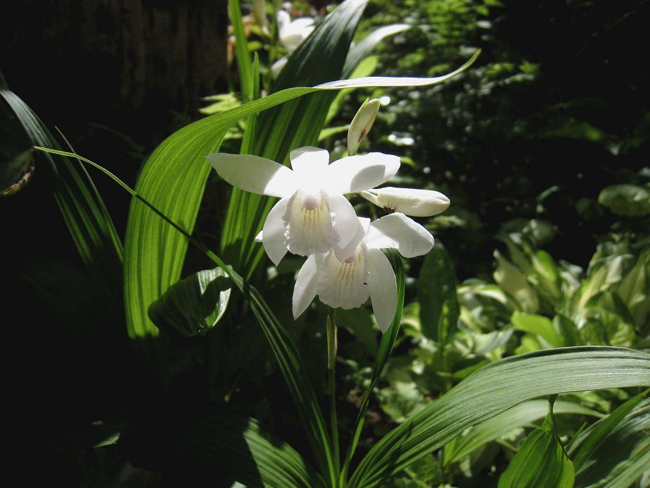 きのうは雨傘。。。きょうは日傘         白花のシラン_a0107574_16425517.jpg