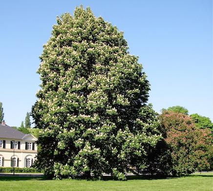 マロニエ : 木蔭のアムゼル