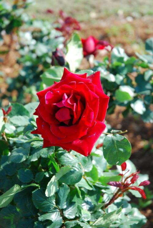 「伊奈町バラ園」ようやく咲き始めました。_f0060530_17215357.jpg