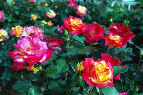 「伊奈町バラ園」ようやく咲き始めました。_f0060530_17221260.jpg