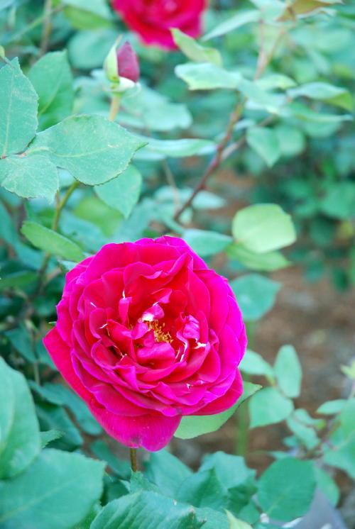 「伊奈町バラ園」ようやく咲き始めました。_f0060530_1722323.jpg