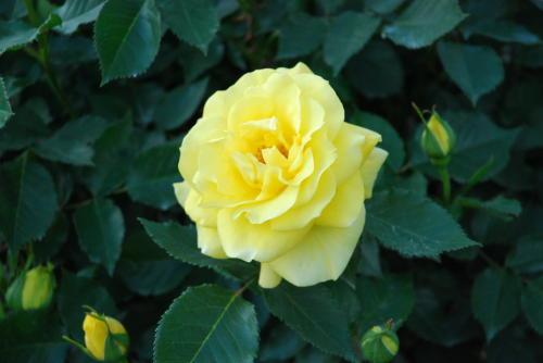 「伊奈町バラ園」ようやく咲き始めました。_f0060530_17225086.jpg