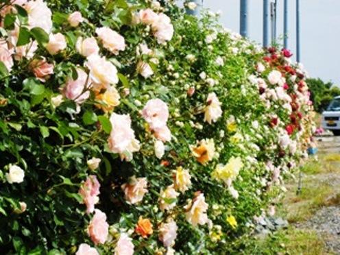 バラ園が満開_f0236594_20433627.jpg