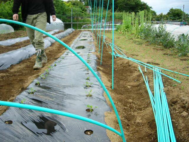里芋の発芽&落花生のネット張り 蚕豆の収穫初め・・_c0222448_15235369.jpg