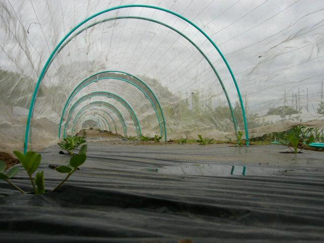 里芋の発芽&落花生のネット張り 蚕豆の収穫初め・・_c0222448_15243588.jpg