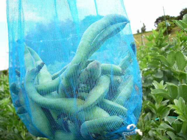 里芋の発芽&落花生のネット張り 蚕豆の収穫初め・・_c0222448_1525379.jpg
