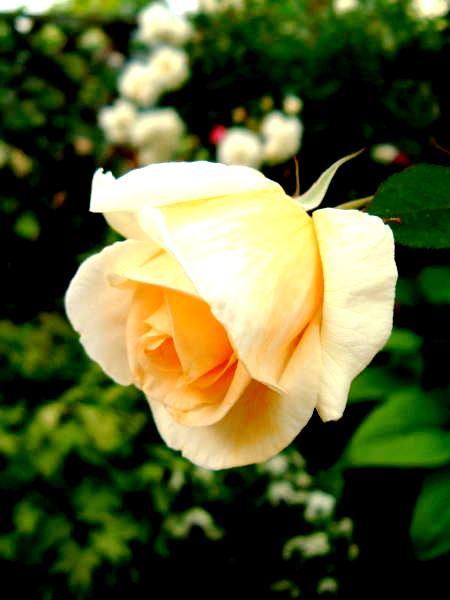 La Vie en rose_c0156749_105930100.jpg