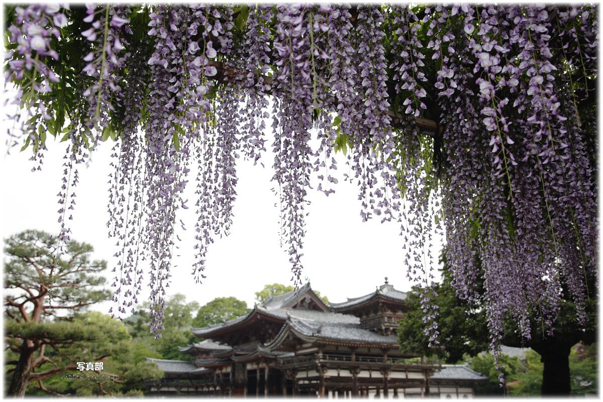 京都 宇治平等院 藤_f0021869_2317122.jpg