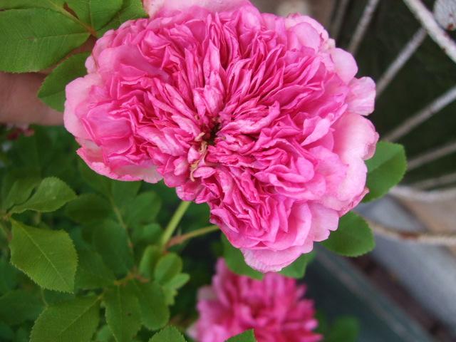 オークリーフ(十六夜薔薇)_f0049672_1317776.jpg