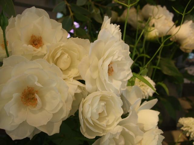 オークリーフ(十六夜薔薇)_f0049672_13241375.jpg