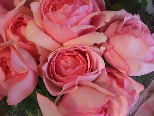 オークリーフ(十六夜薔薇)_f0049672_1324578.jpg
