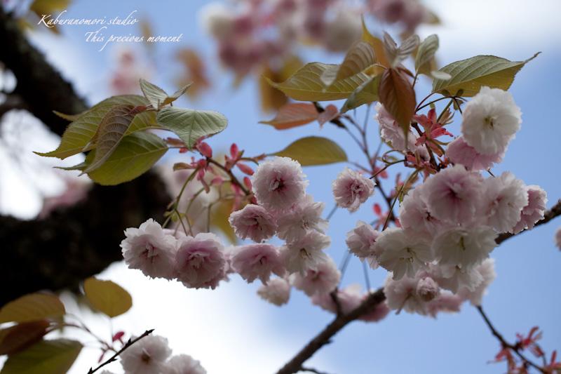 山麓の若葉、八重桜や梅、野草の花に光降り注ぐ_c0137403_1915014.jpg