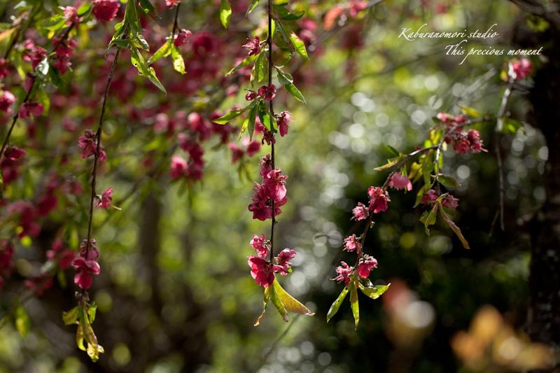 山麓の若葉、八重桜や梅、野草の花に光降り注ぐ_c0137403_19161030.jpg