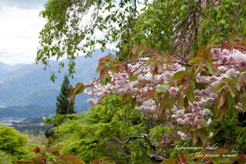 山麓の若葉、八重桜や梅、野草の花に光降り注ぐ_c0137403_1972122.jpg