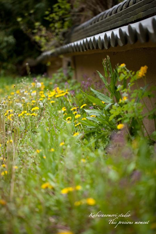 山麓の若葉、八重桜や梅、野草の花に光降り注ぐ_c0137403_1981968.jpg