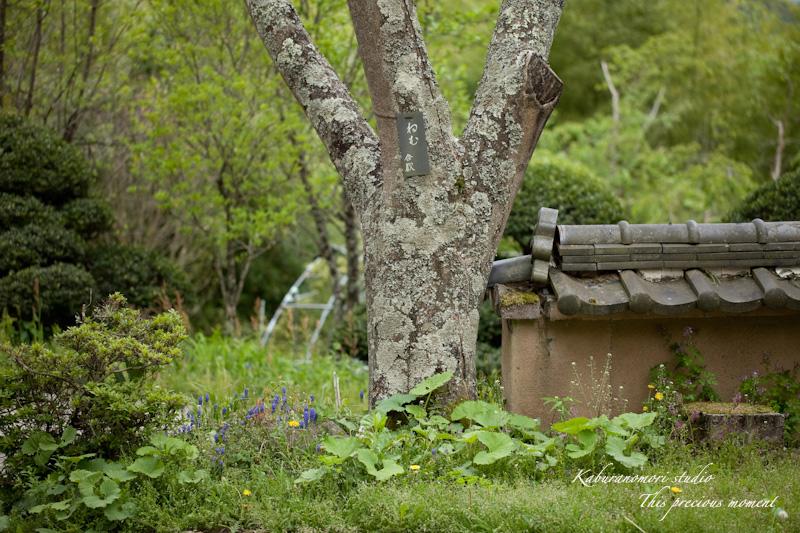 山麓の若葉、八重桜や梅、野草の花に光降り注ぐ_c0137403_199083.jpg
