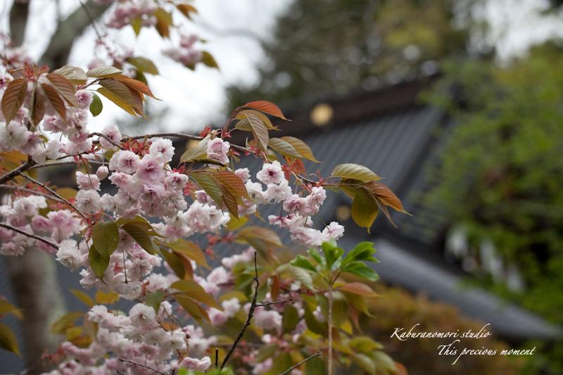 山麓の若葉、八重桜や梅、野草の花に光降り注ぐ_c0137403_1992013.jpg