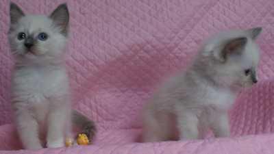 ラグドール 子猫 ブルーポイントミテッド女の子編_e0033609_2312272.jpg