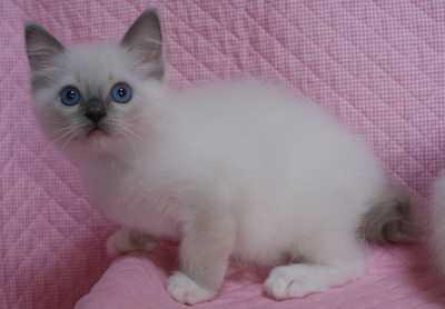ラグドール 子猫 ブルーポイントミテッド女の子編_e0033609_23162287.jpg
