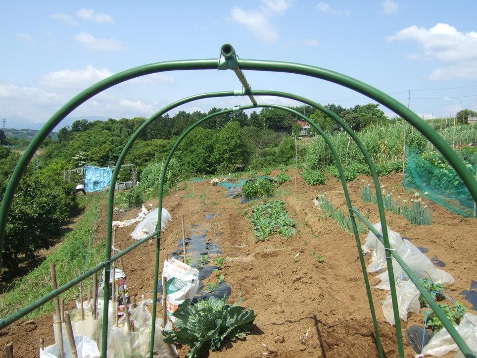 トマトの雨対策...屋根付きシート_b0137932_1472530.jpg