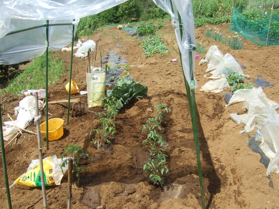 トマトの雨対策...屋根付きシート_b0137932_1474218.jpg