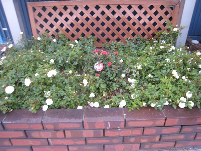 日の丸花壇_f0205367_19512473.jpg