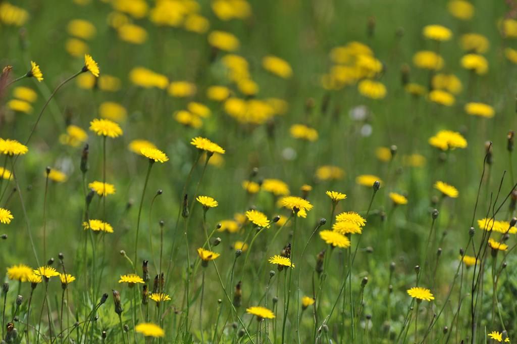ホバからホバへ/真っ黄色です_b0024798_527528.jpg