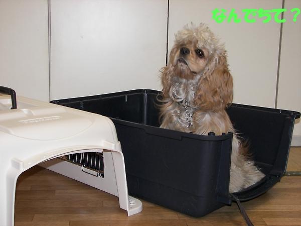 ビーグルと柴犬とコッカーと_b0067012_904559.jpg