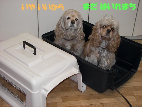 ビーグルと柴犬とコッカーと_b0067012_911044.jpg