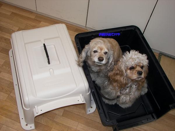 ビーグルと柴犬とコッカーと_b0067012_912343.jpg